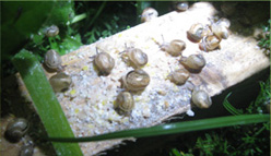 snail cultivation technology